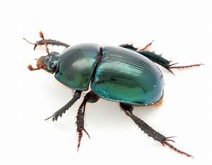 Fnai News  U0026 Notes  Young U0026 39 S Deepdigger Scarab Beetle
