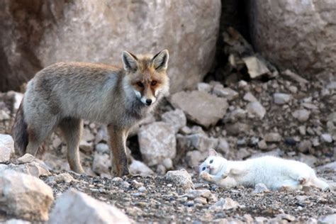 wild fox  cat   friends