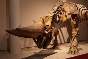 Arsinoitherium - Africa, from 36 to 30 million years ago ...