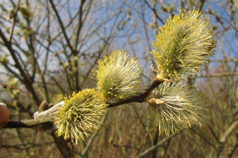 Le saule marsault, plante du jour   Parcs, Jardins, Plante