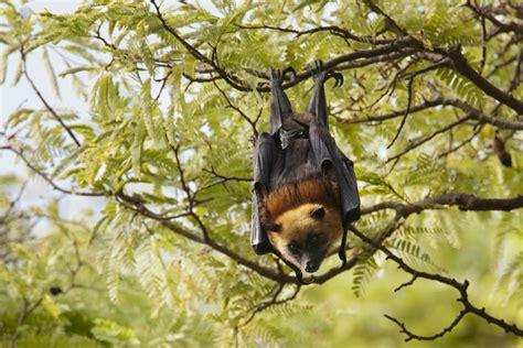 volpe volante pipistrello volpe volante 28 images pipistrello volpe