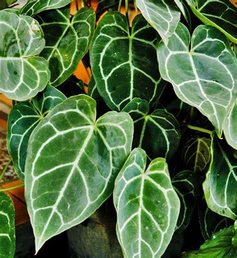 koleksi tanaman hias tanaman hias kuping gajah anthurium