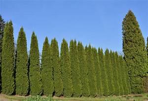 Säulen Pflanzen Winterhart : s ulenzypressen hecke pflanz und pflegetipps ~ Frokenaadalensverden.com Haus und Dekorationen