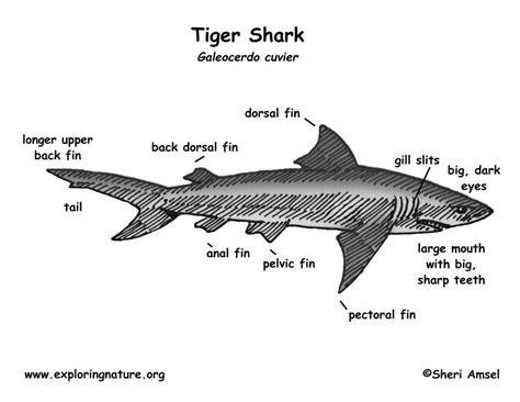 diagram tiger shark cap