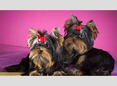 Wallpaper Yorkshire Terrier, Dogs, Puppies, HD, Animals, #6257