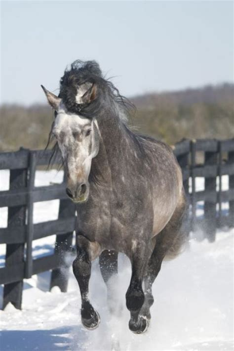 andalusian roan stallion wild horses horse faisan pretty stallionsnow