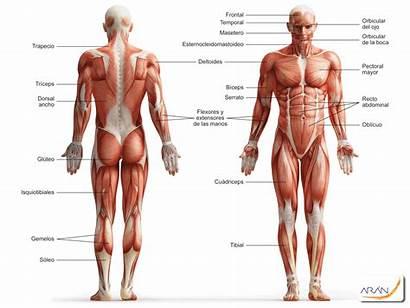 Muscular Musculos Sistema Humano Cuerpo Ingles Esqueleto