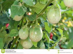 Thai Eggplant On Tree In Sunlight. Stock Photo - Image ...