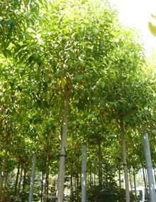 Ligustrum Japanese Privet Tree
