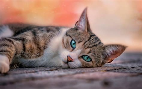 Blue Eyes Cat Wallpapers Hd For Desktop Pixcorners