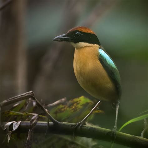 Black-faced Pitta - Solomon Islands - Bird images from ...