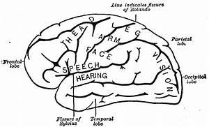 12 Best Images Of Brain Parts Worksheet