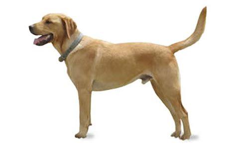 goldador dog breed information pictures characteristics