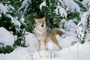 coyote, , canis, latrans, , howling