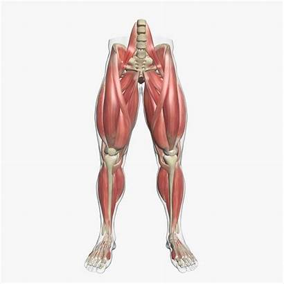 Anatomy Leg Muscle Human 3d Muscles 3dsmax