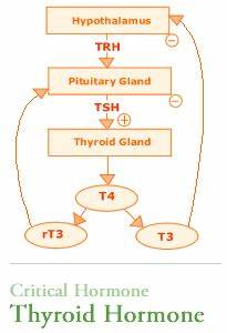Endocrine Hormone Function Chart Thyroid Hormone Pathway T4 T3 Tsh Chart With Images