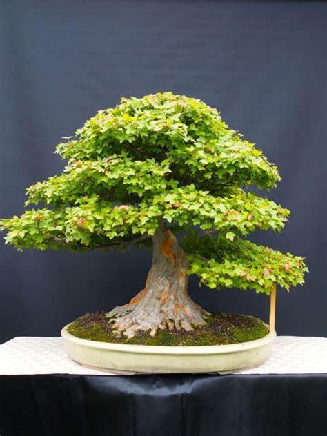 bonsai arten indoor bonsai fachforum de thema anzeigen sowas liebes bonsai bonsai pflanzen bonsai und