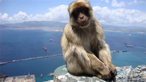 gibraltar barbary macaque gibraltar national animal full