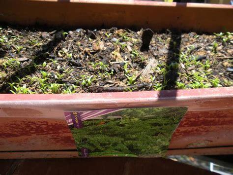 faire pousser du persil en pot faire pousser du persils sur balcon
