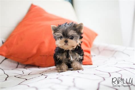 Carter - Yorkie. M – Rolly Teacup Puppies