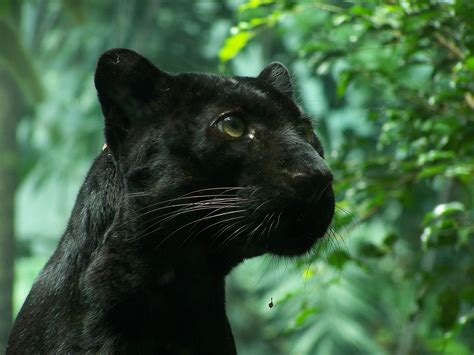 The #marvelstormbreakers unleashed their extraordinary talents on these black panther #25 fine arts. High resolution picture of black Panther, wallpaper of wild cat, foliage | ImageBank.biz