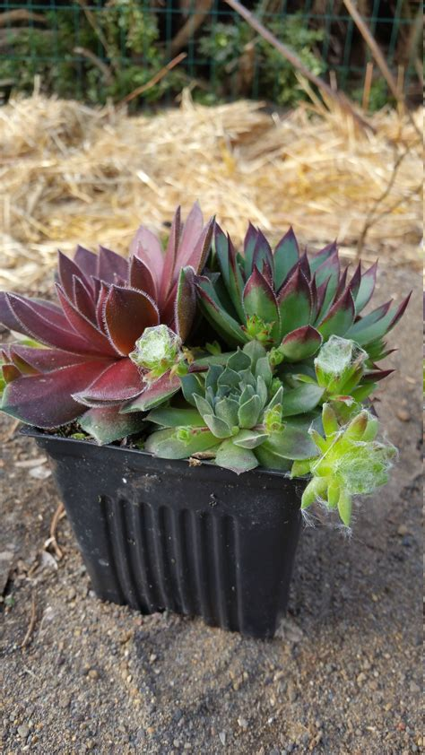 4 quot pot sempervivum premium plants succulents rock garden