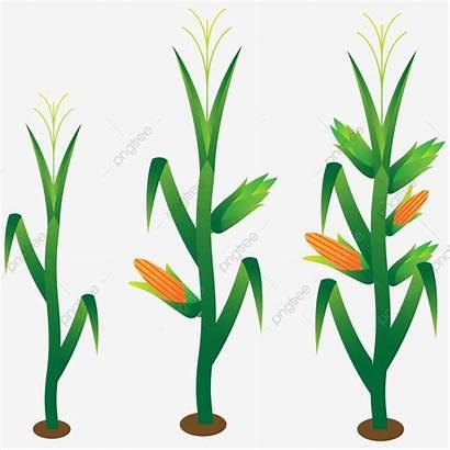 Corn Plant Stalk Hand Vector Clipart Crop