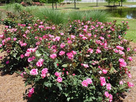 care of roses in take care of roses all summer long lsu agcenter