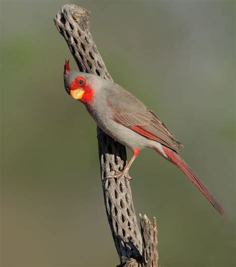 the pyrrhuloxia cardinalis sinuatus male sometimes referred to as a quot desert cardinal quot this