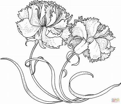 Carnations Carnation Flower Coloring January Drawing Birth