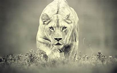 Lion Female Animals Lions Leo Lioness Queen