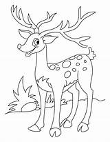 Deer Coloring Pages Tailed sketch template