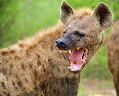 images  hyenas  pinterest tanzania