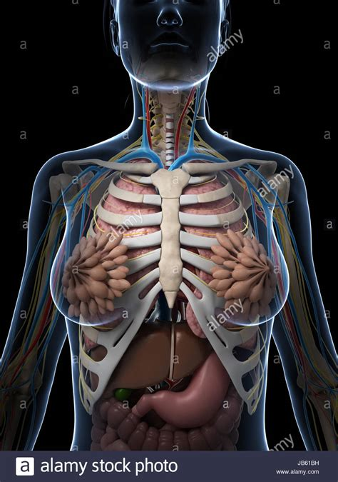 female anatomy diagram stock  female anatomy