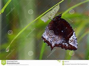 Newly Emerged Palm Fly Butterfly Stock Photo - Image: 48367410