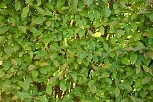 Schneeball Strauch Arten : schneeball hecke pflanzen und pflegen viburnum ~ Frokenaadalensverden.com Haus und Dekorationen