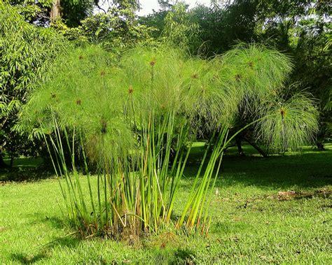 Papiro (Cyperus papyrus) | Lugar: Finca La Pomarrosa ...