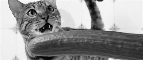 cucumbers scared cats why