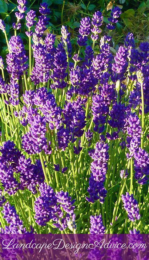 perennials flowers perennial flowers for a stunning design