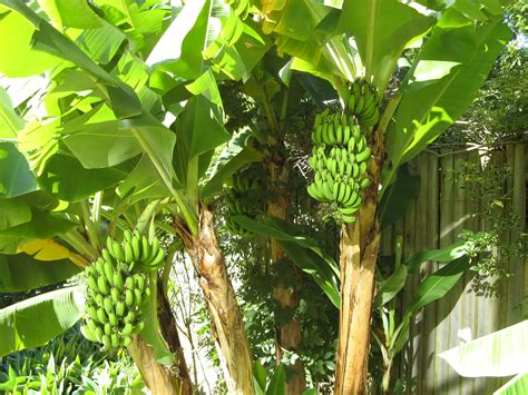 banana trees laura rittenhouse s gardening journal keeping track of what s growing when where and how page 8