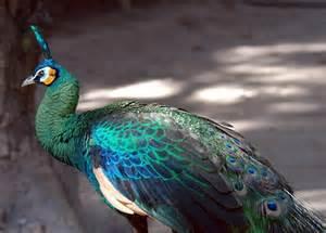 Peacock Green Peafowl