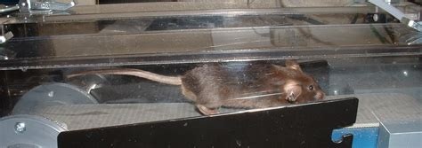 Genetically Altered Super Mouse On Treadmill Credit Steven
