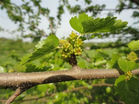 mulberry morus spp  bare root seedlings forest agriculture enterprises