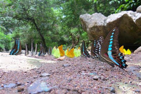 ikan kupu kupu mongabaycoid