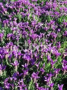 Schopf Lavendel Tee : schopf lavendel lavandula stoechas stock photos ~ Michelbontemps.com Haus und Dekorationen