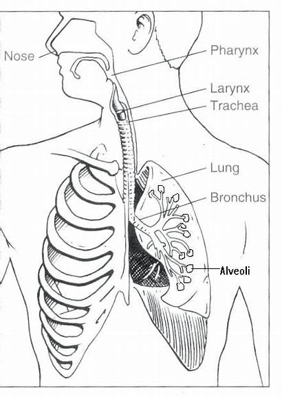 Respiratory System Coloring Printable Pages Getcolorings Getdrawings