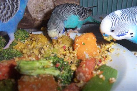 Tips For Feeding A Budgie - Care Corner
