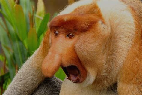 Best Proboscis Monkeys Images Pinterest