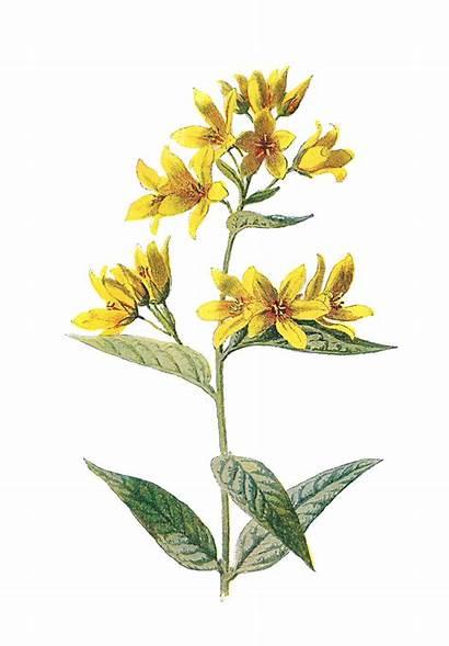 Flower Wildflower Digital Clip Illustrations Yellow Wildflowers