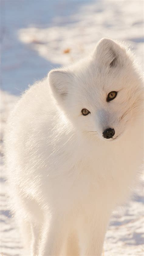 mz winter animal fox white wallpaper